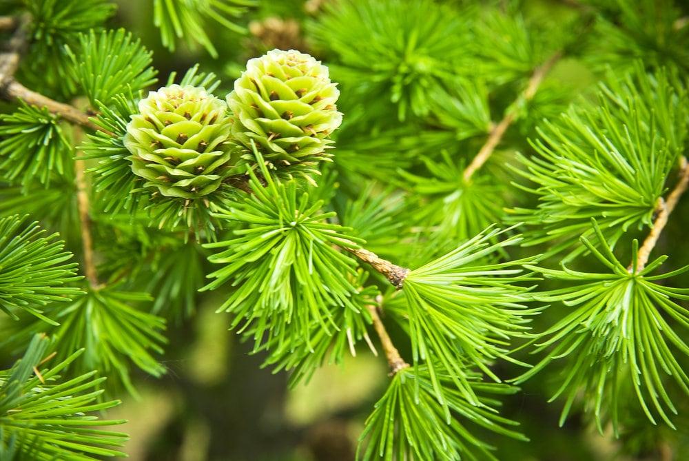 Хвойное растение с цветами