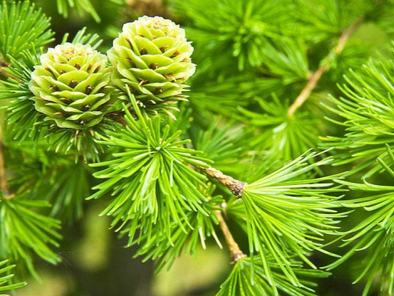Питомник хвойных растений