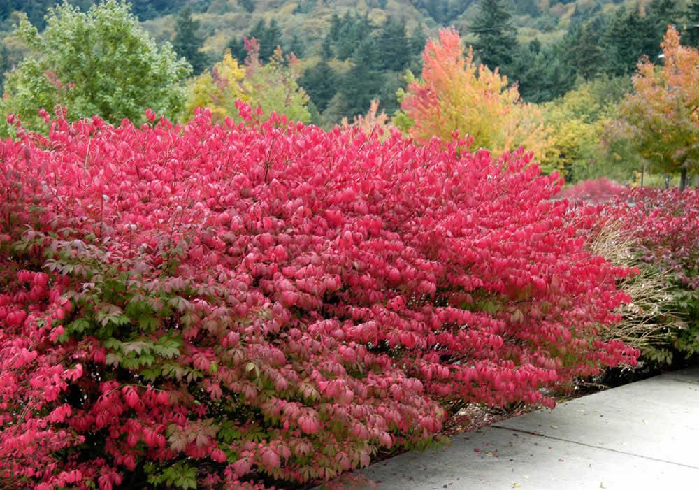 Купить лиственные кустарники