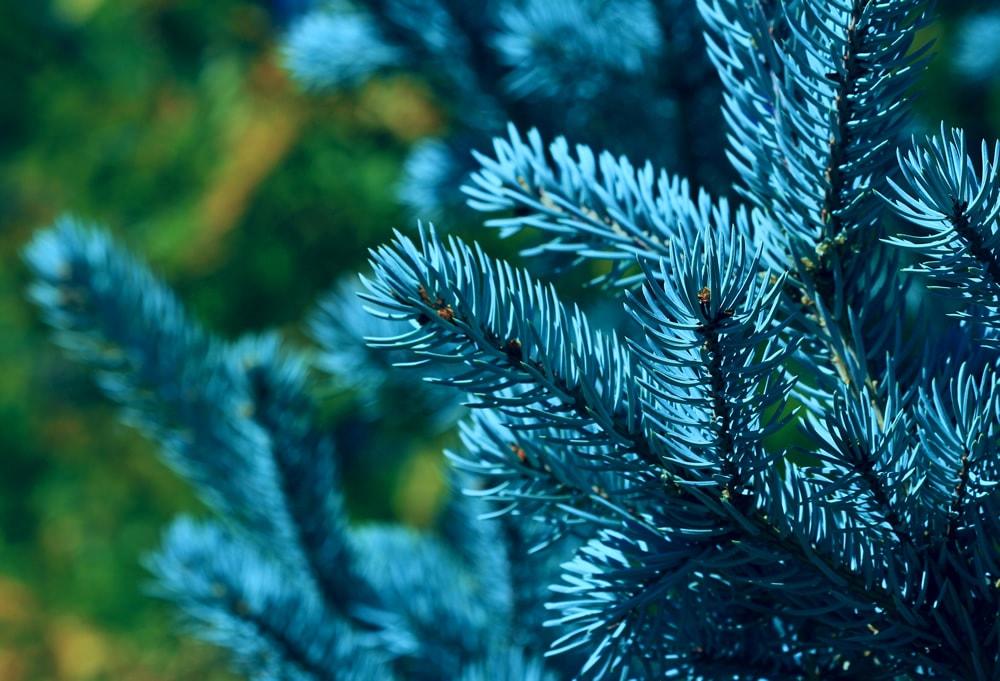 Голубые ели в Новосибирске