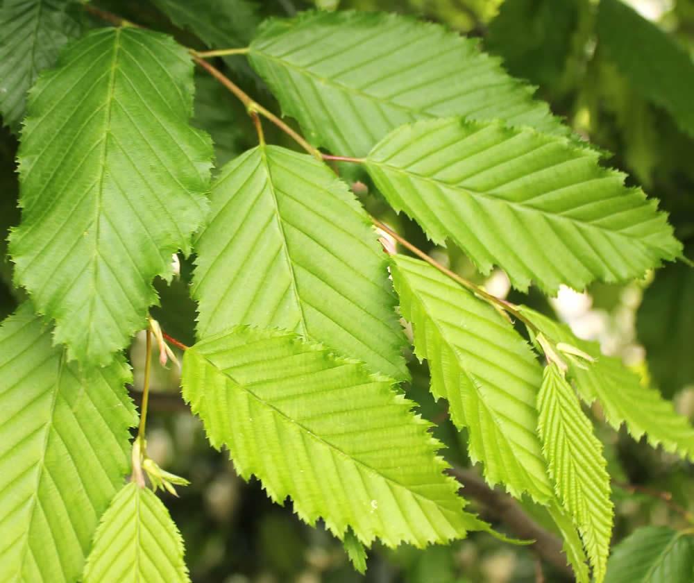 Купить лиственные деревья