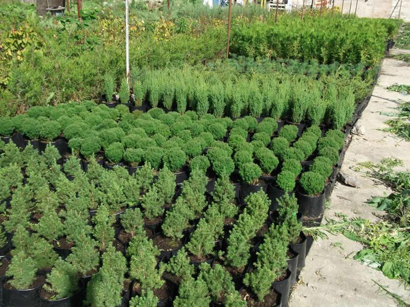 Новосибирский питомник хвойных деревьев