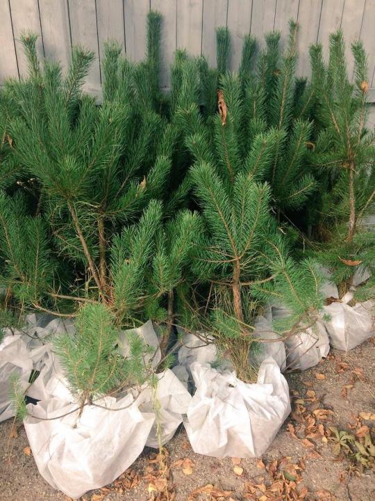 Украшение парка и сада – сосна, купить в Новосибирске саженцы по выгодной цене