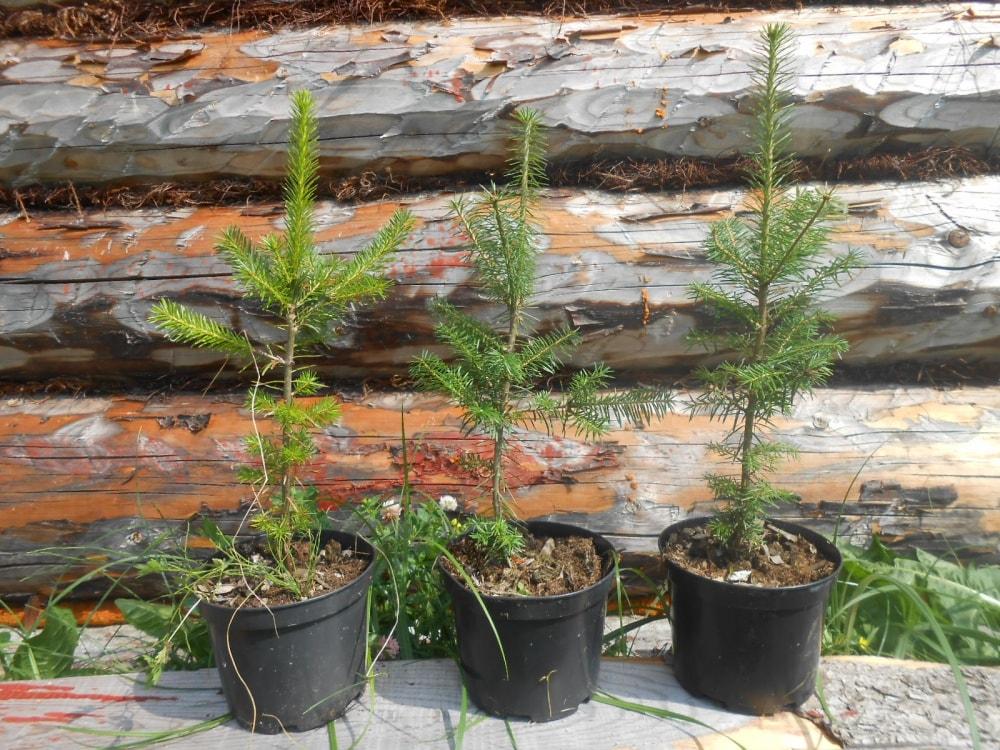 Выгодный акцент дизайна – пихта, купить дерево в Новосибирске