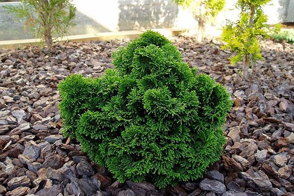 Эффектный кипарисовик купить для украшения сада, парка
