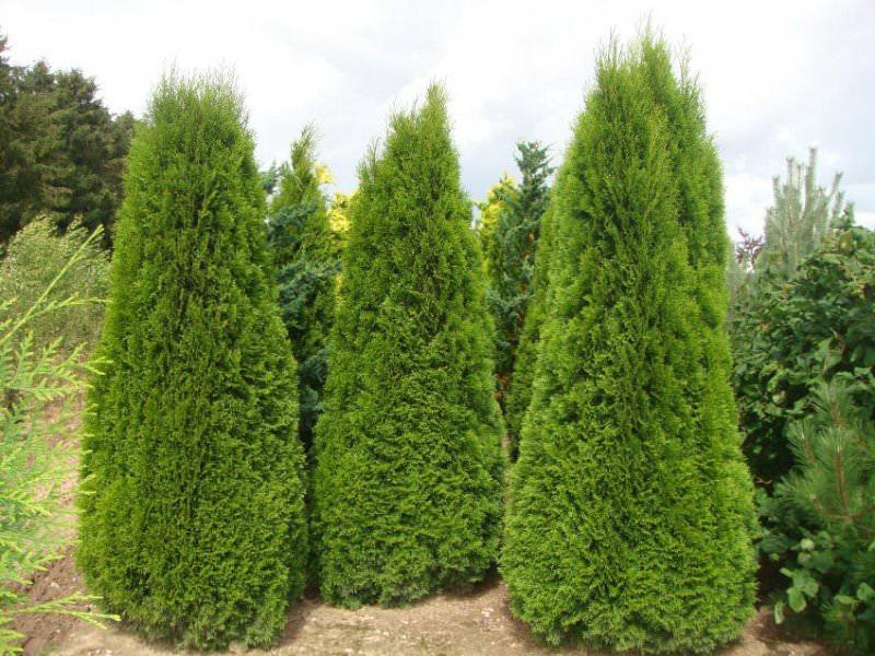 Купить дерево туя в Новосибирске