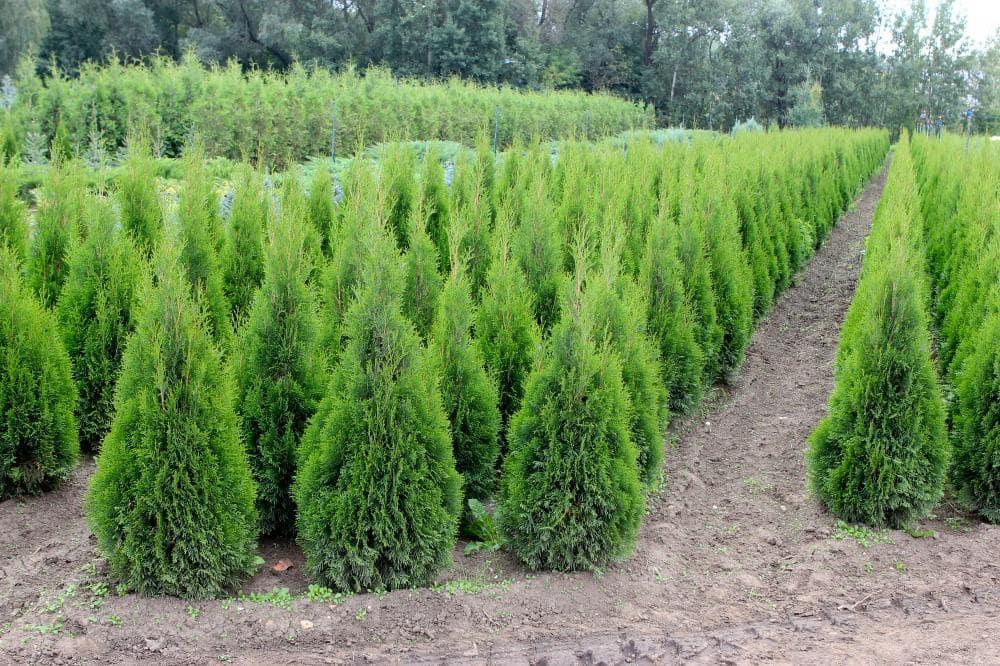 Питомники хвойных растений