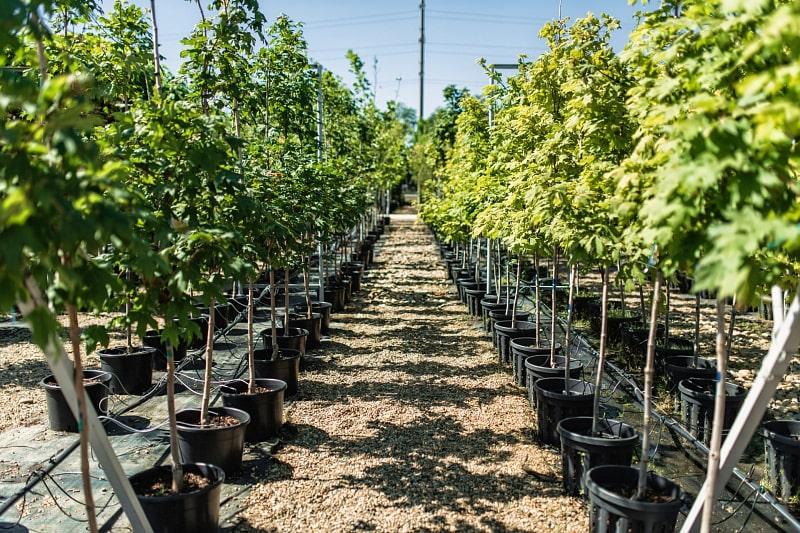 Купить садовые деревья