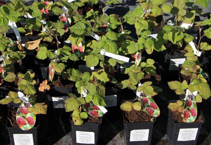 Открыт прием заказов на посадочный материал деревьев и других растений на 2021 год