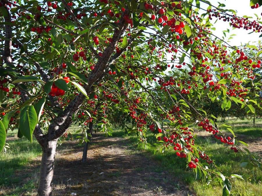Вишня фруктовое дерево