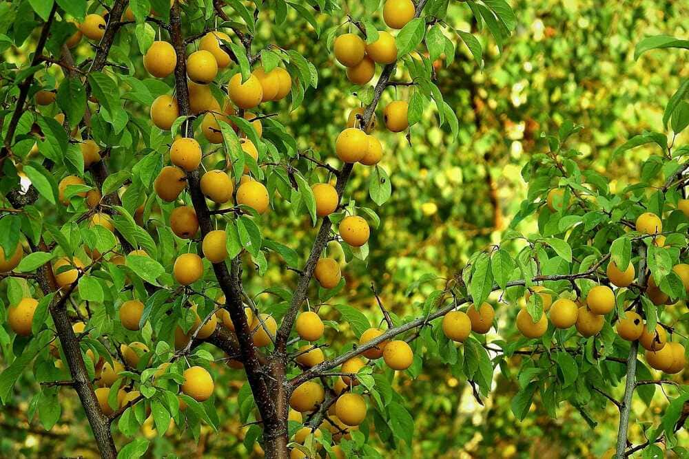Плодовые деревья из питомника