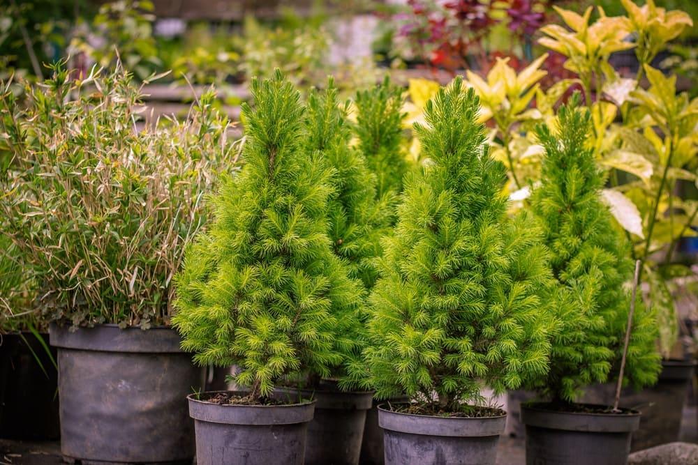 Хвойные растения из питомника