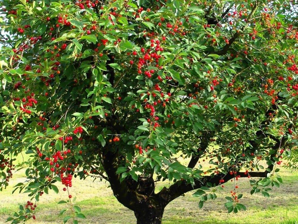 Купить дерево вишня