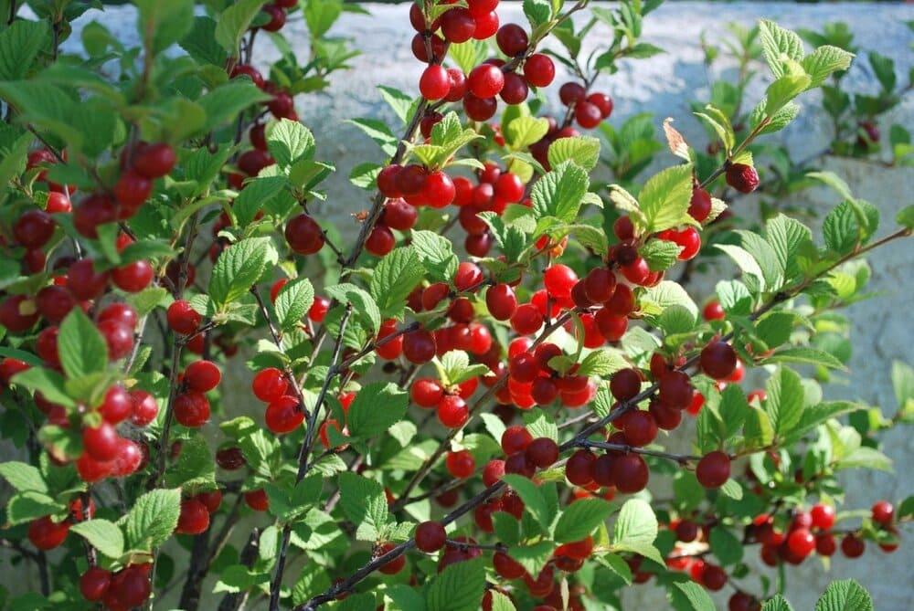 Плодовые кустарники: вишня