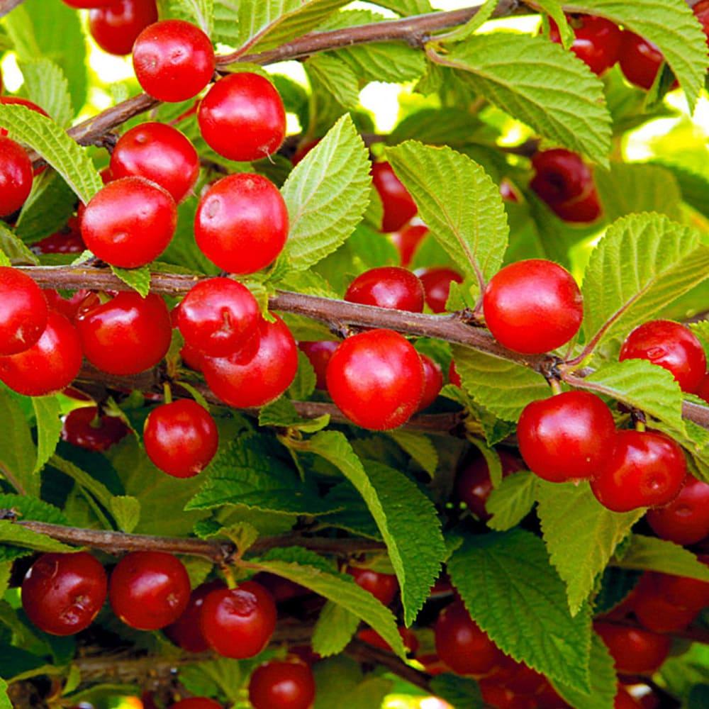 Плодовые деревья: вишня
