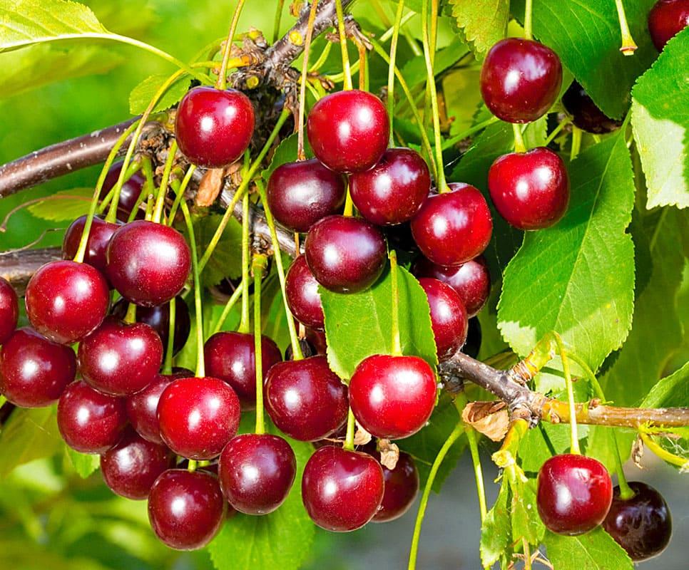 Малина и плодовые деревья